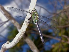 Green Dragonfly by Dream-finder