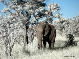 Infrared Animals - Shy Elephant by Okavanga