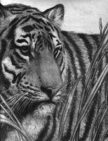 The Endangered Bengal Tiger by cocaluv