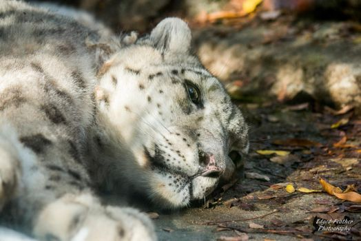 Snow Leopard 2 by EdgedFeather