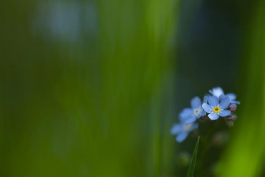 Forget-me-not I by Deemax