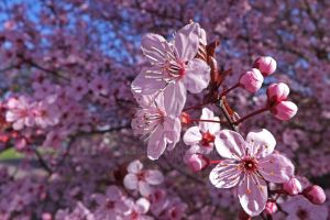 Spring Candy Blossoms by Dotsmom