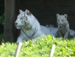 Siberian Tigers by Faelte