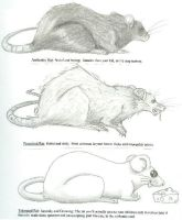 Human interpretation of rats by bunnygopoof