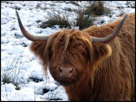 Highland Cow Scottland... by MichiLauke