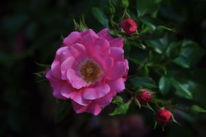 pretty pink wild rose by xim0nfir3x