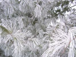 Frost from Fog on Pine by Zsantz