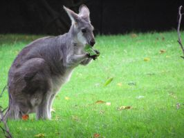 Munchy Wallaby by SubRosa-undertherose
