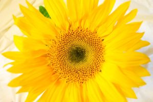 Sunflower by mntbikeracer1