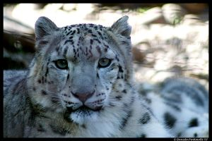 Snow Leopard Portrait by TVD-Photography