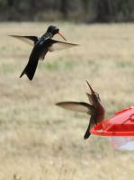 Broad-Billed Hummingbird Stand-Off by amzimme