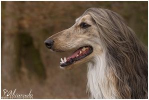 Afghan hound o4 by Salvas