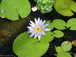 Water Lily 01 by lesleyhat
