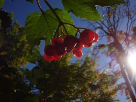 Strong Sunlight On Berries by Pentacle5
