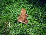nighttime toad by harrietbaxter