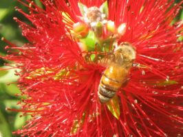 130 Bee in a Bottle Brush Flower by crazygardener