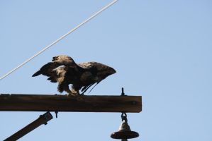Golden Eagle Launching From Telephone Pole by Shadow848327