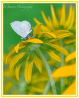 Tiny Butterfly on BE Susan by ConnieBearer