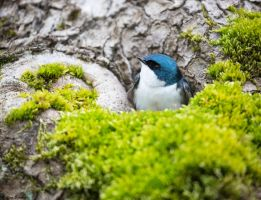Tree Swallow by deseonocturno