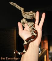 Surinam Boa Constrictor by poisonous