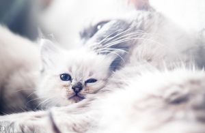 .kitten dreams. by awphotoart