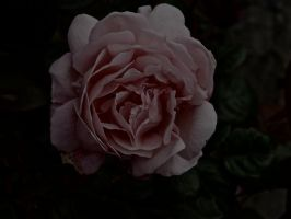 Faded Rose by gee231205