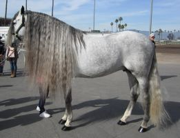 Lusitano stock 1 by All4grace