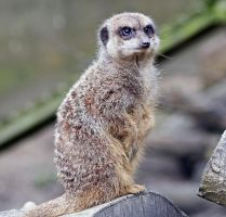 Meercat by rosswillett