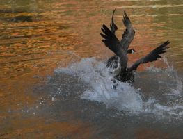 GOOSE FIGHT by LinzStock