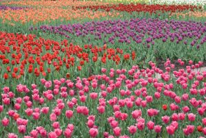 Tulip Field 14282379 by StockProject1