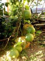 our pomelo by plainordinary1