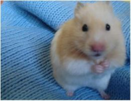 My hamster by catarinamzfernandes