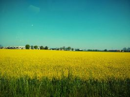 Field of yellow by urto74