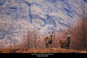 Glen Etive Deer by DL-Photography