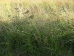 grass by lotsoftextures