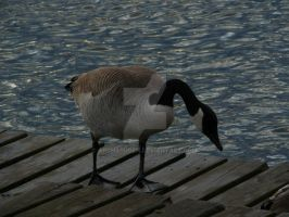 Canada Goose [1 of 2] by Archarugen