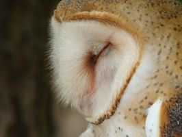Barn Owl by Zolk
