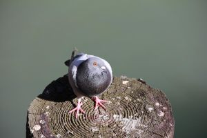 Pigeon 6 by Chocomix-Stock