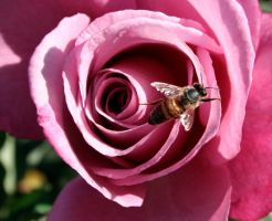 Bee on a pink rose by KatherineDavis