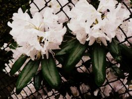 rhododendrons bloom 2 by snusmumrikenn