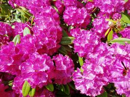 Rhododendron 3 by RoseSparrow