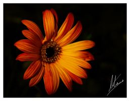 Solitary Orange by Morillas
