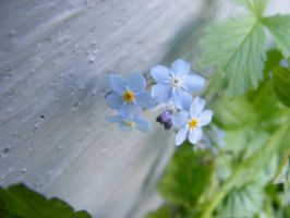 little blue flowers by BlueIvyViolet