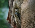 Blue Eyed Elephant by DeniseSoden