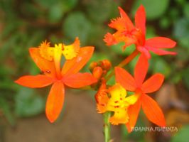 orange orchid by roannart