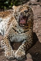 7642 - Sri Lankan Leopard by Jay-Co