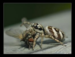 Salticus scenicus with prey by albatros1