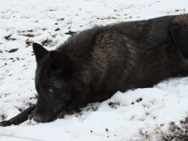 Black Wolf Lying Stock by AngelSTOCK22