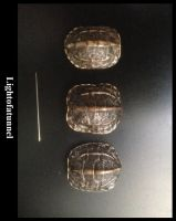 Tiny Turtle Shell by Lightofatunnel