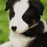 Border collie puppy by Palo-P